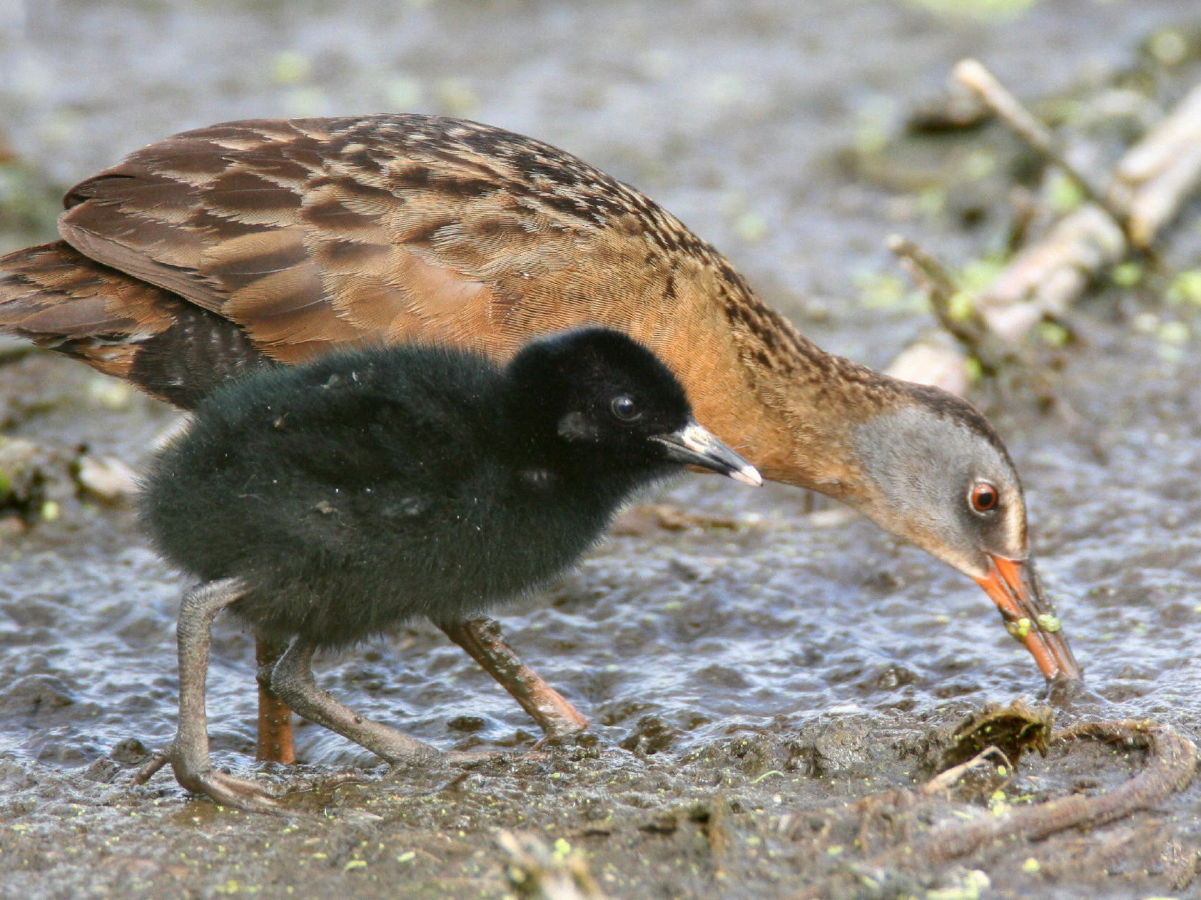 Virginia Rail - Dave Spier
