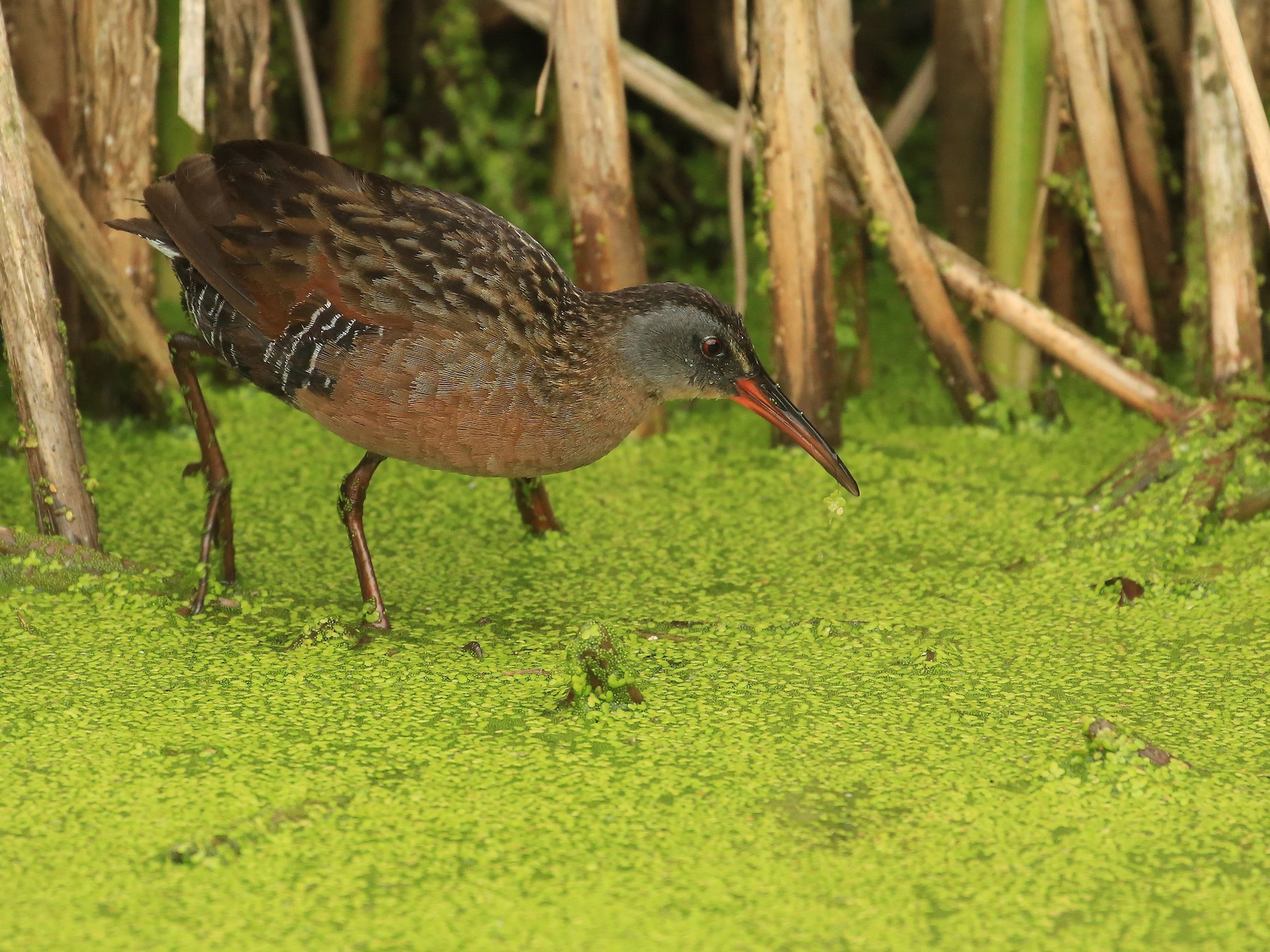 Virginia Rail - Tim Lenz