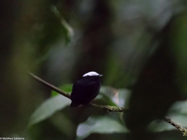 White-crowned Manakin male (presumed subspecies <em>coracina</em>)