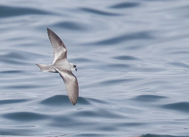 Fork-tailed Storm-Petrel