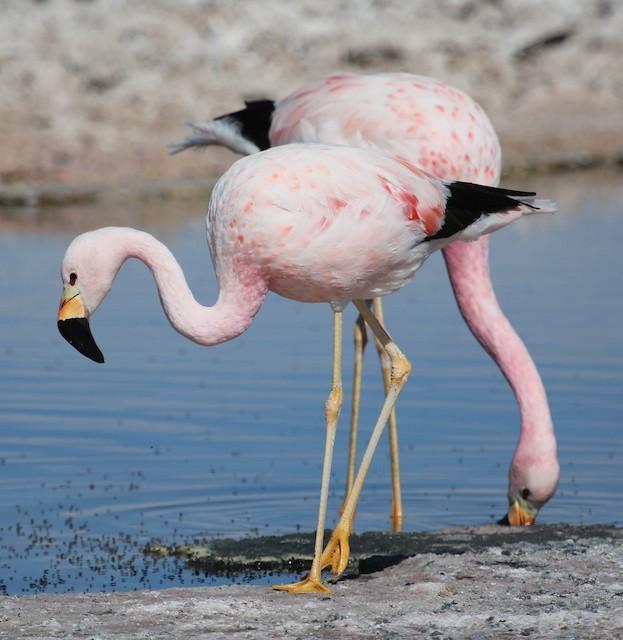 Adult Andean Flamingo.