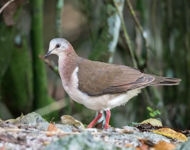 Caribbean Dove