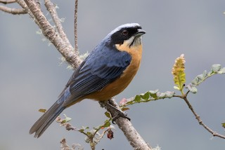 - Chestnut-bellied Mountain-Tanager