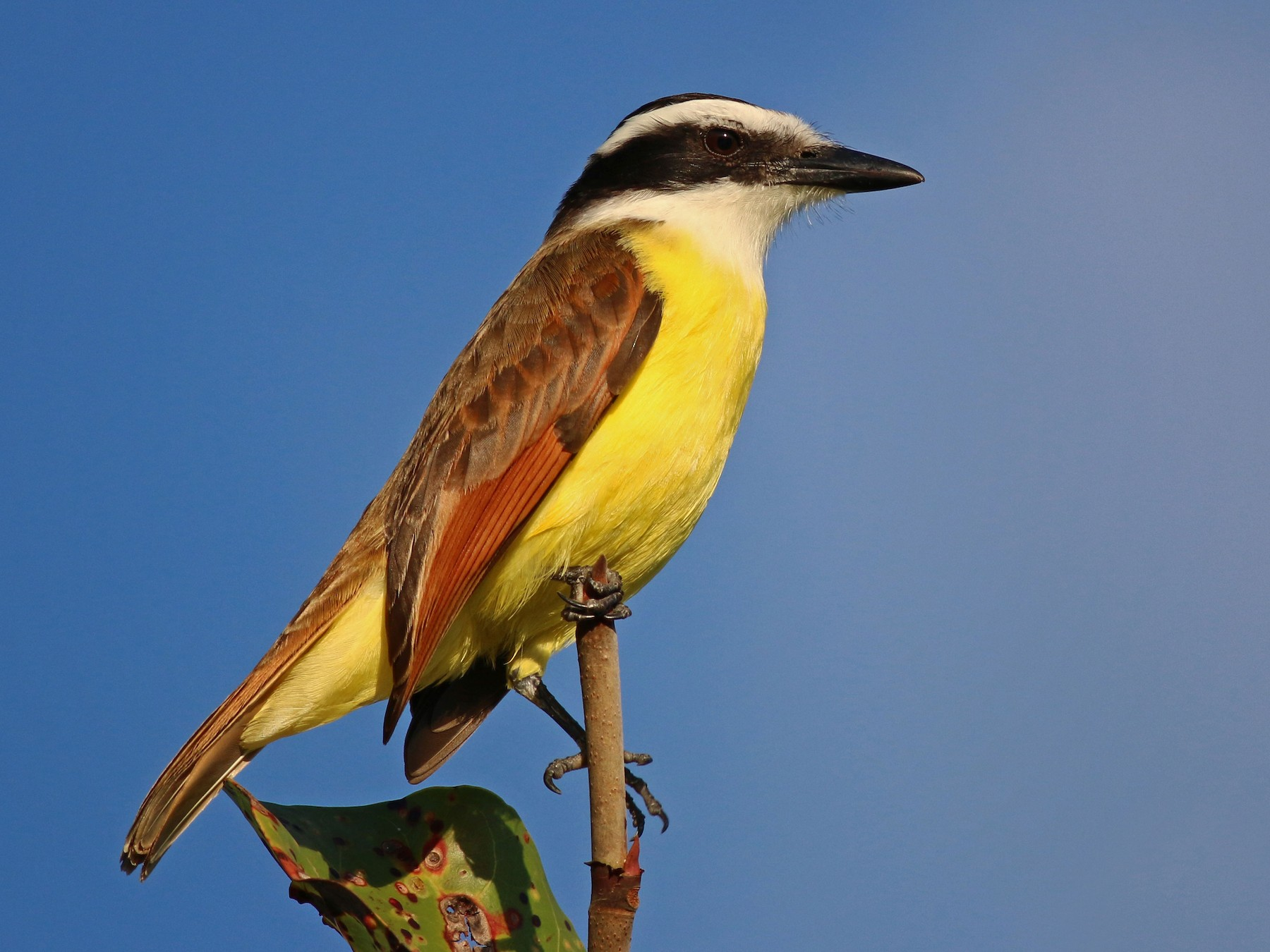 Great Kiskadee - Ian Davies