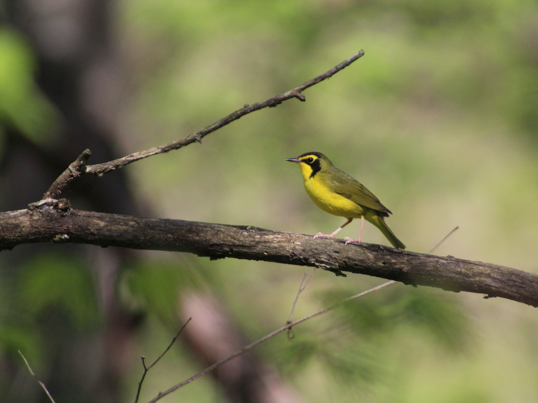 Kentucky Warbler - Shelby Thomas