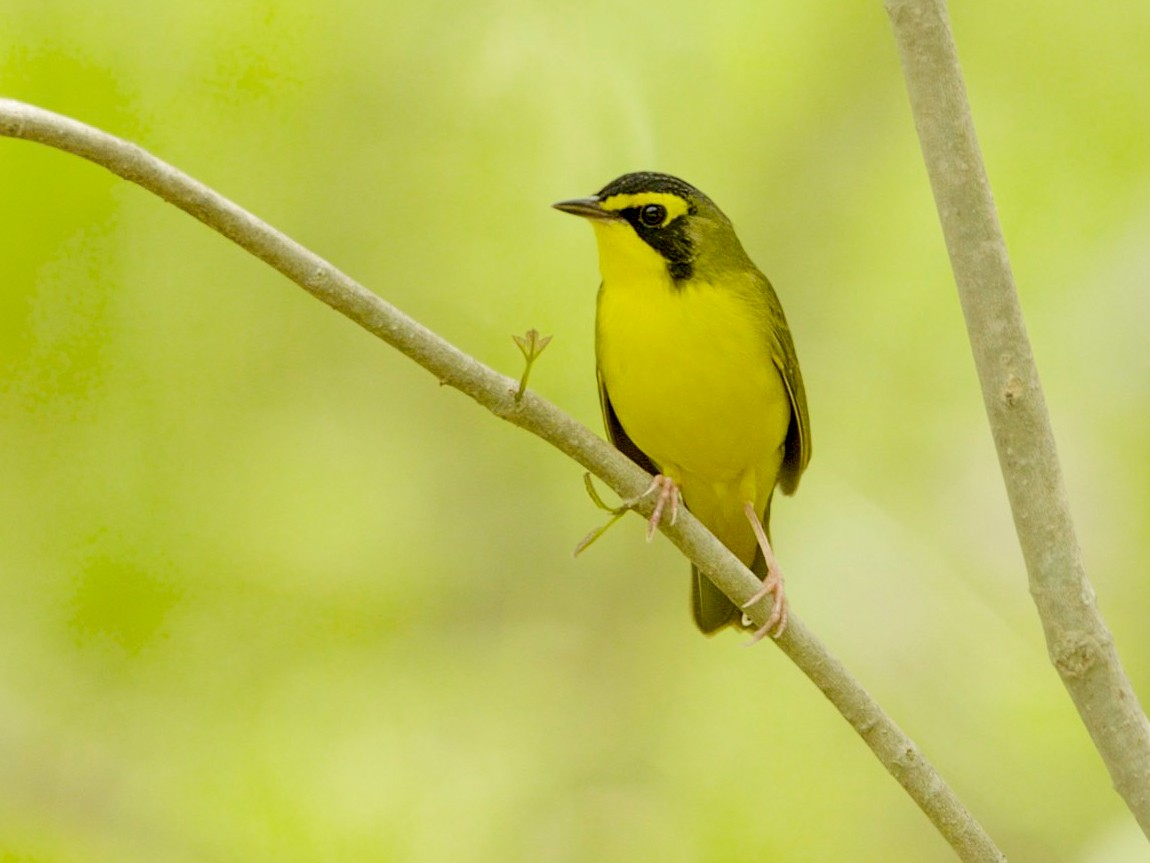 Kentucky Warbler - Don Martin