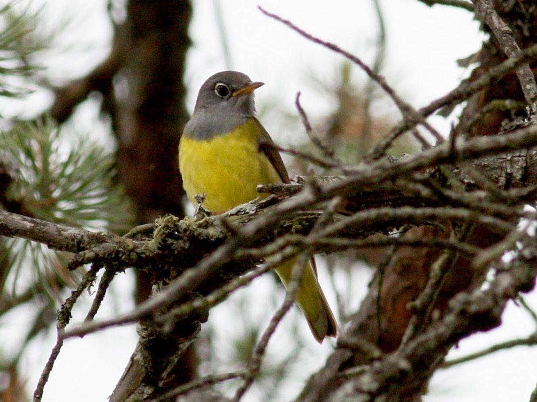Connecticut Warbler - Jay McGowan