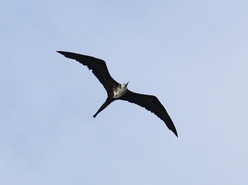 Magnificent Frigatebird - Aaron  Brees