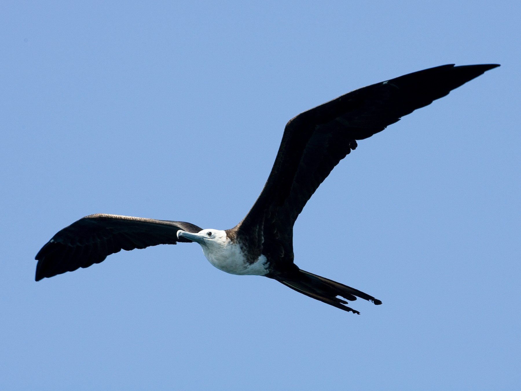 Magnificent Frigatebird - Brian Sullivan