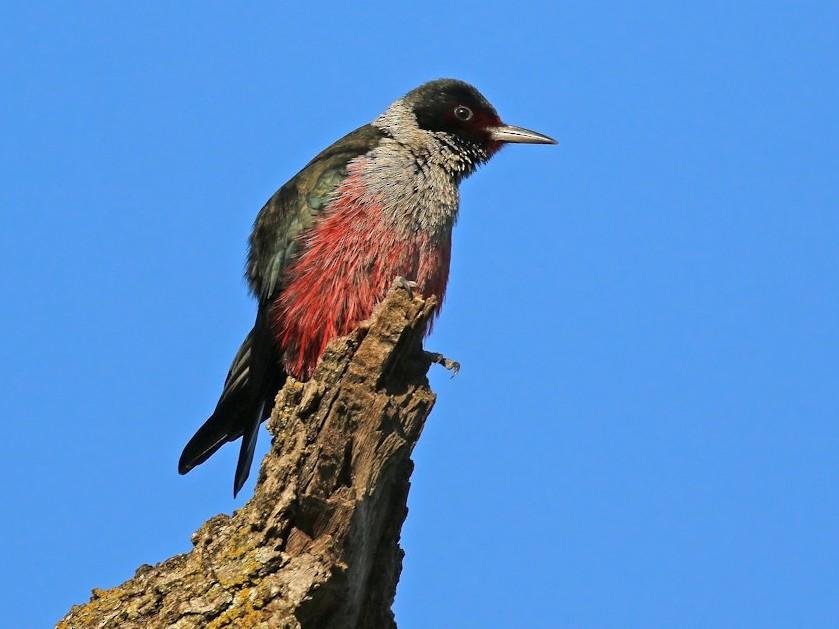 Lewis's Woodpecker - Matt Davis