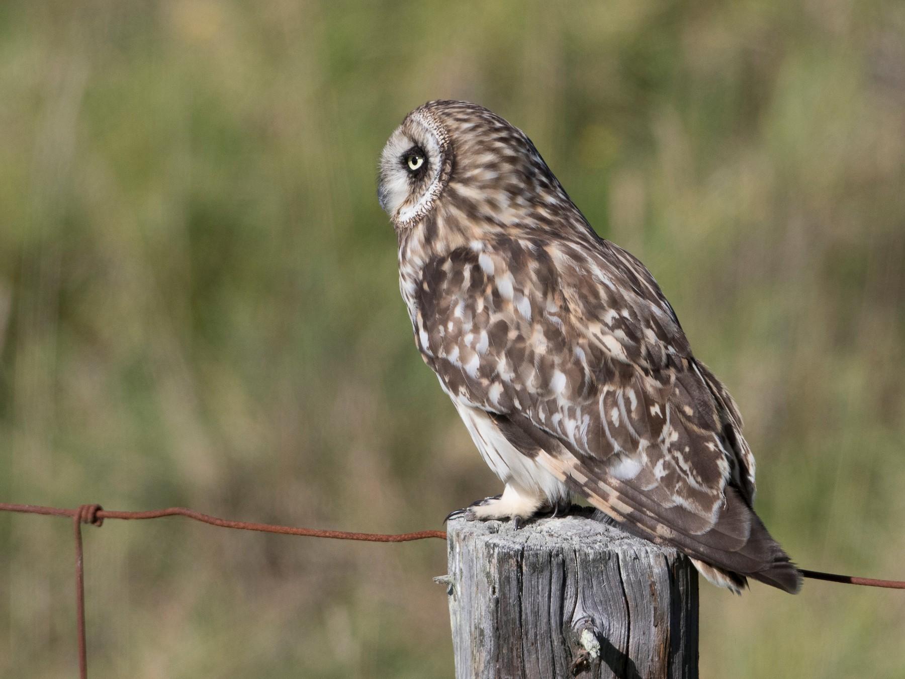 Short-eared Owl - Brian Sullivan