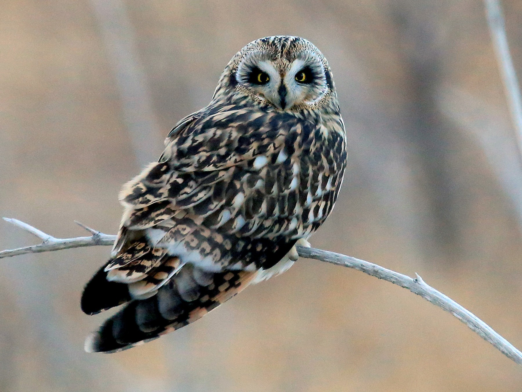 Short-eared Owl - Tim Lenz