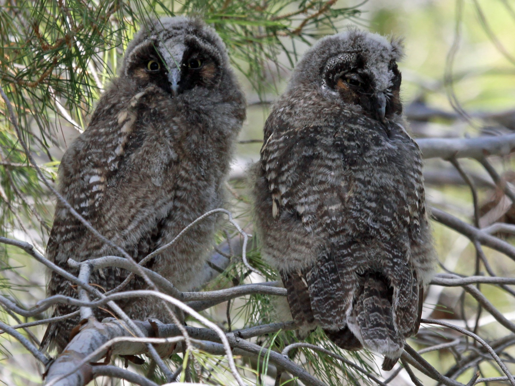 Long-eared Owl - David Blue