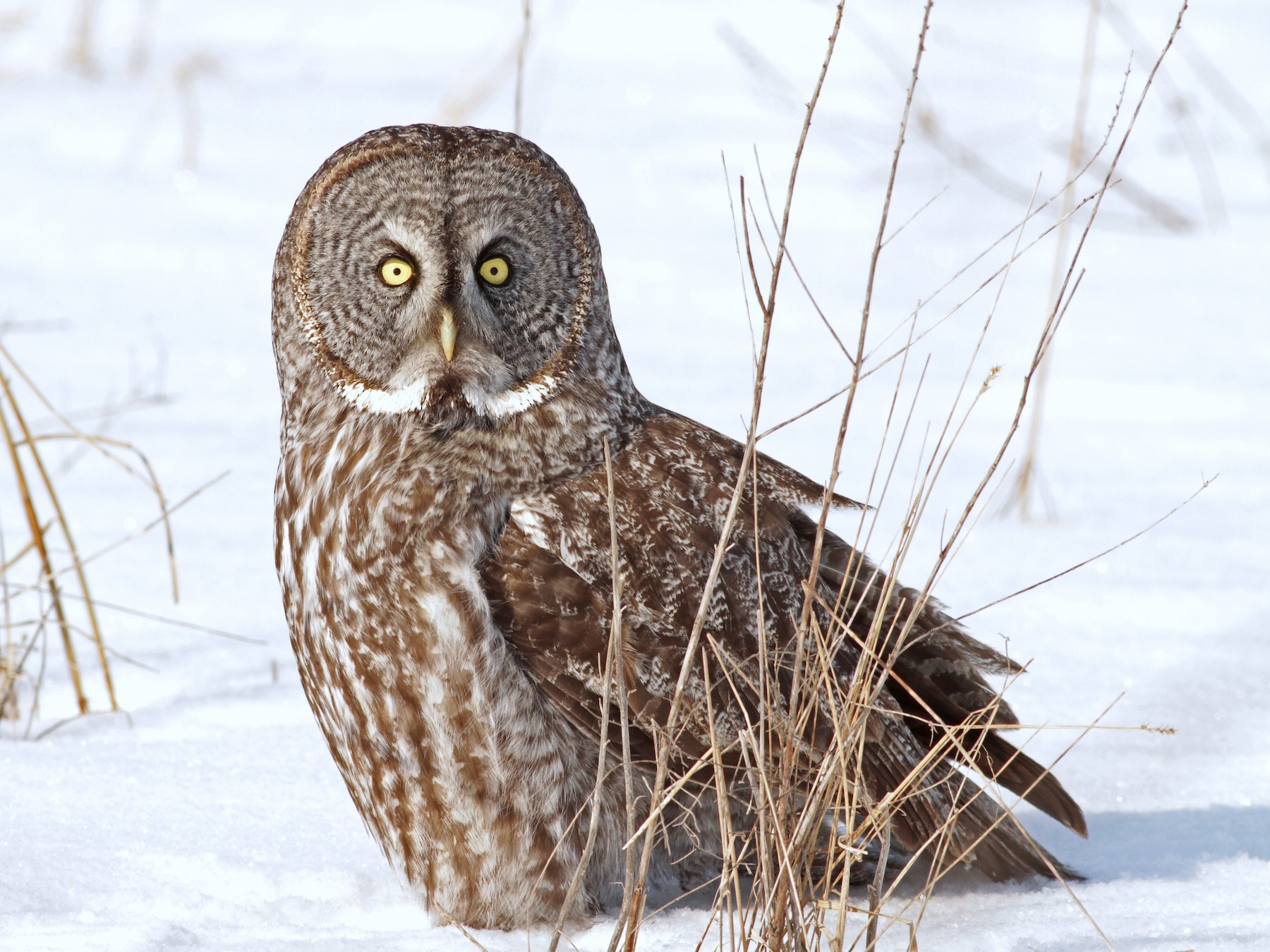 Great Gray Owl - Ian Davies