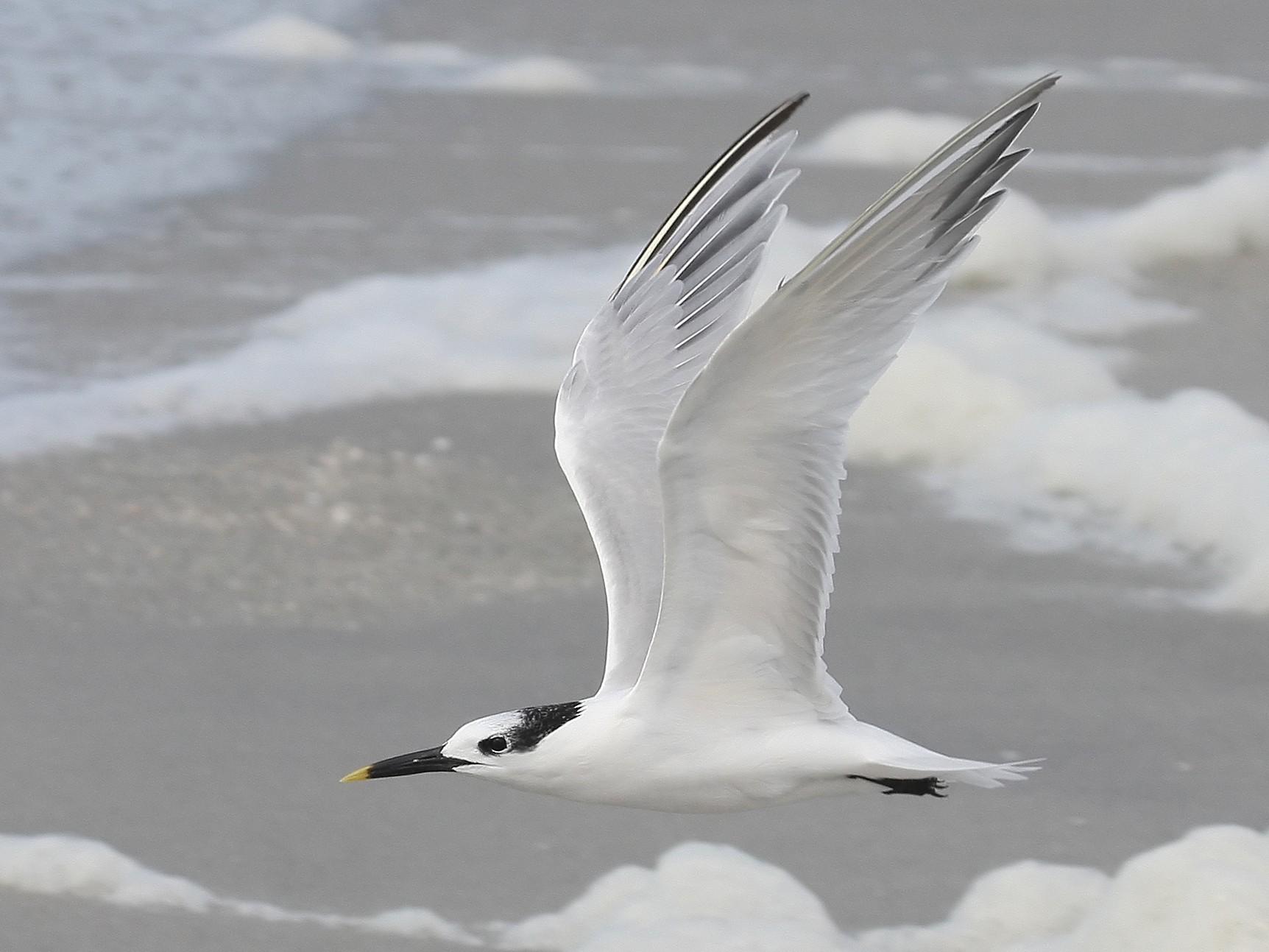 Sandwich Tern - Steve Collins