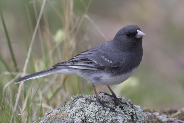 Dark-eyed Junco (White-winged)