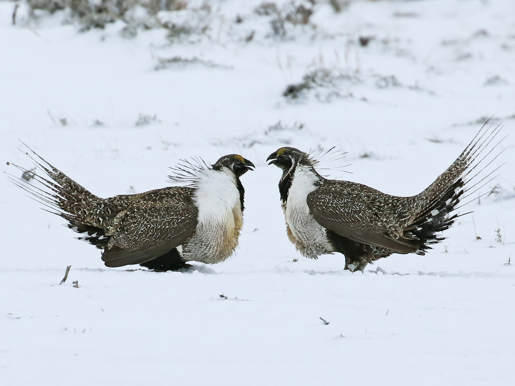 Greater Sage-Grouse - Andrew Spencer