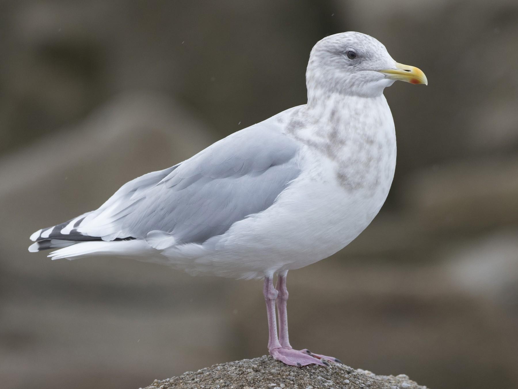 Iceland Gull - Brian Sullivan