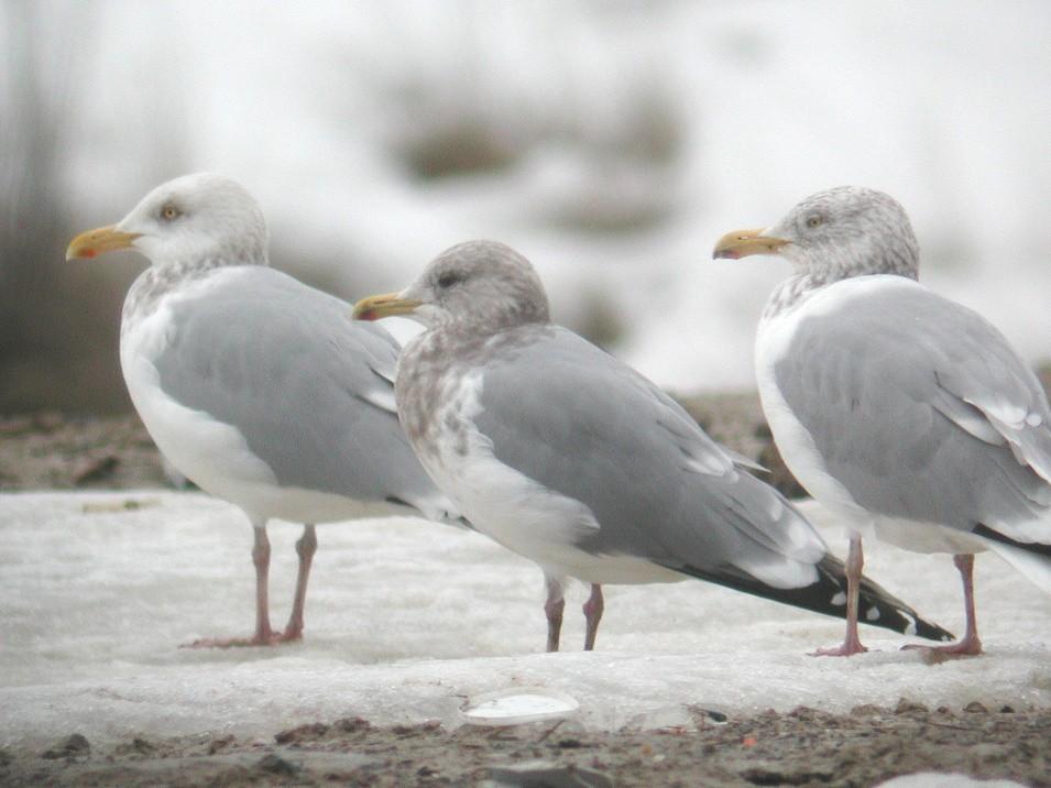 Iceland Gull - Daniel Casey