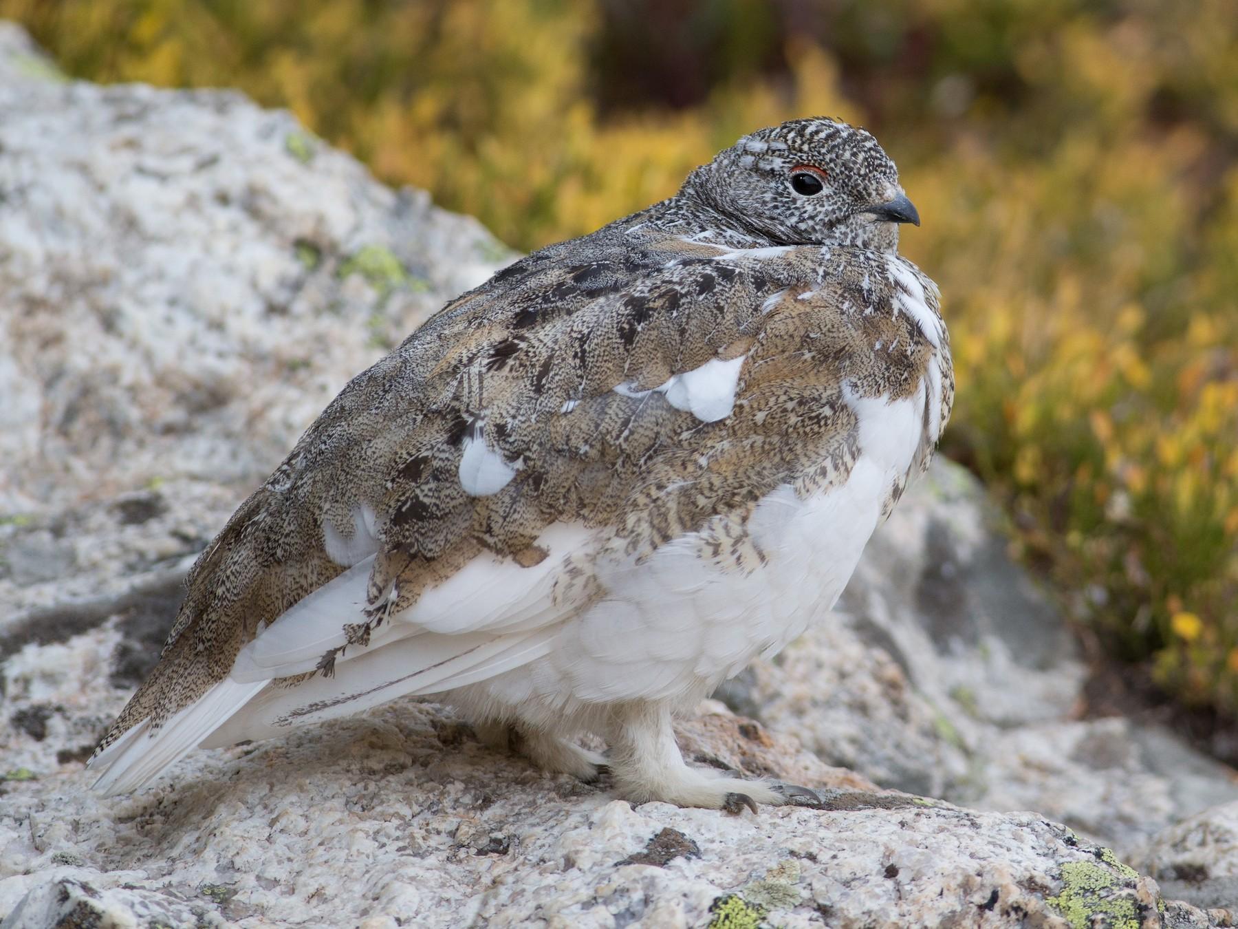 White-tailed Ptarmigan - Chris Wood