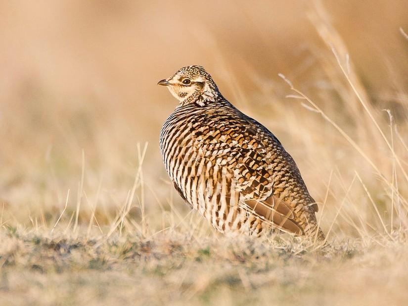 Greater Prairie-Chicken - Dorian Anderson