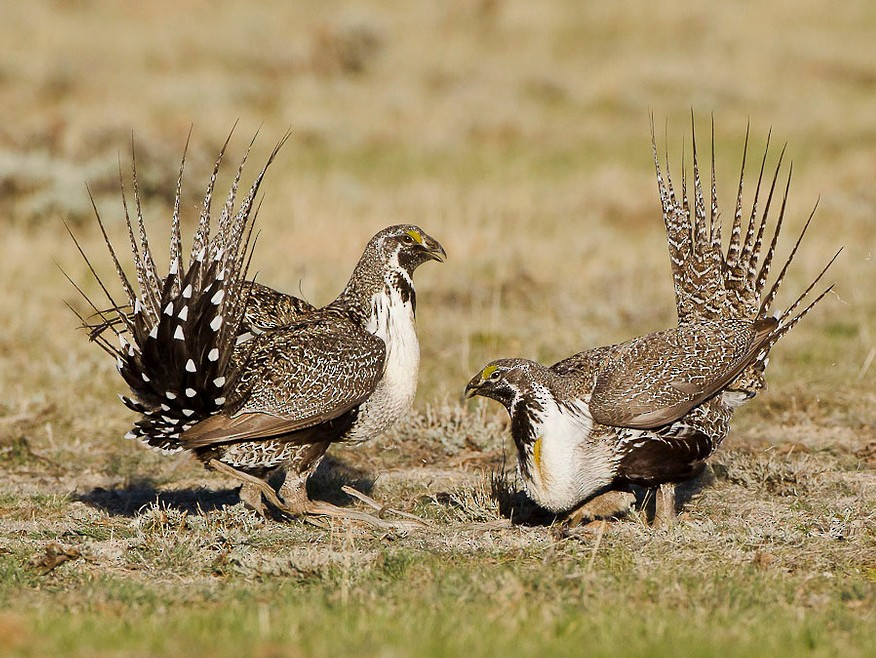 Greater Sage-Grouse - Dorian Anderson