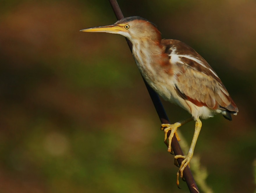 Least Bittern - David Irving