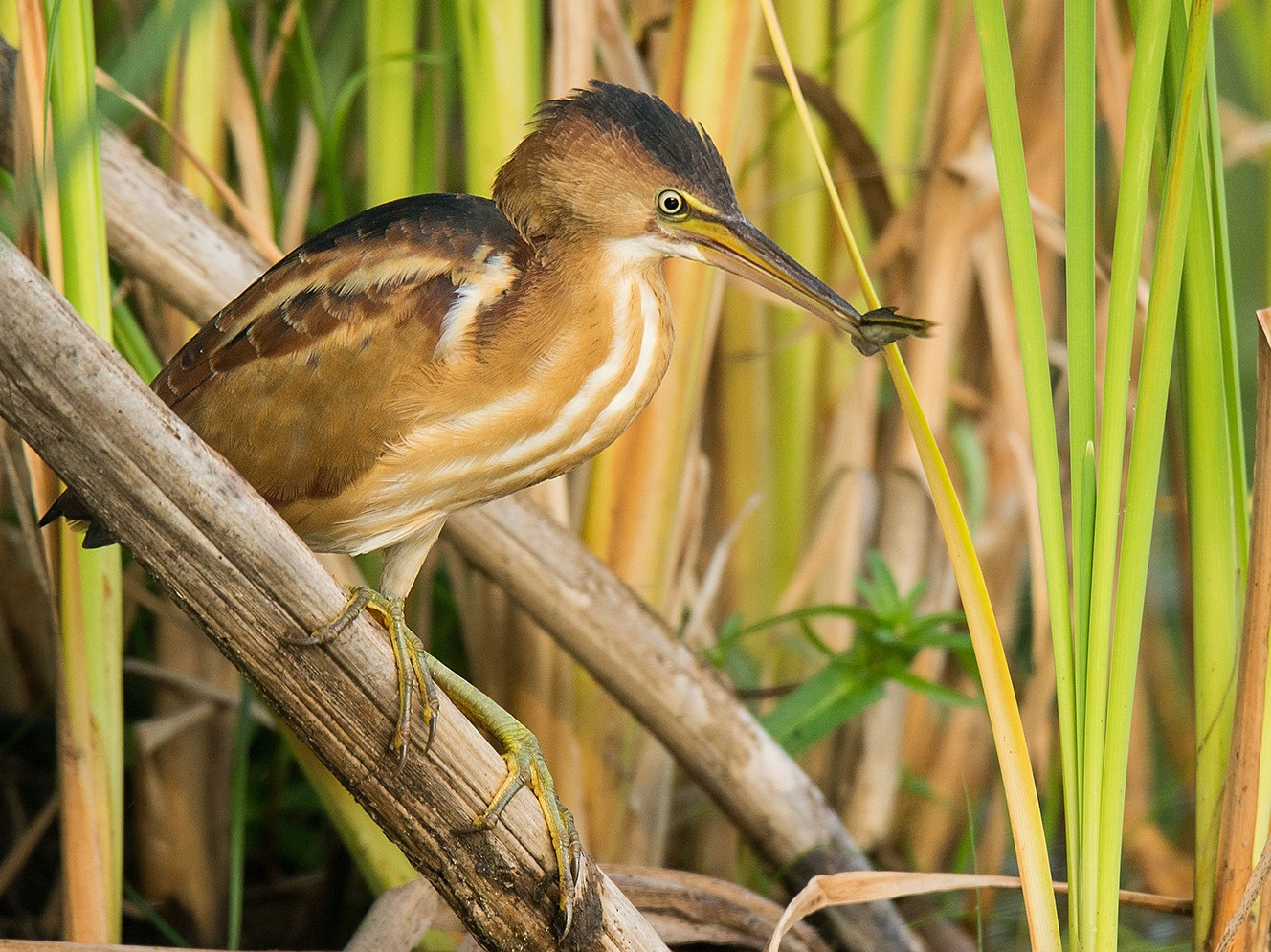 Least Bittern - David Turgeon