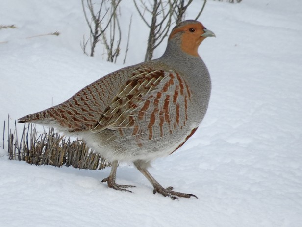 Gray Partridge - Lauri Taylor