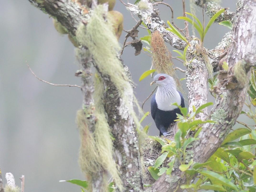 Comoro Blue-Pigeon - Alan Van Norman