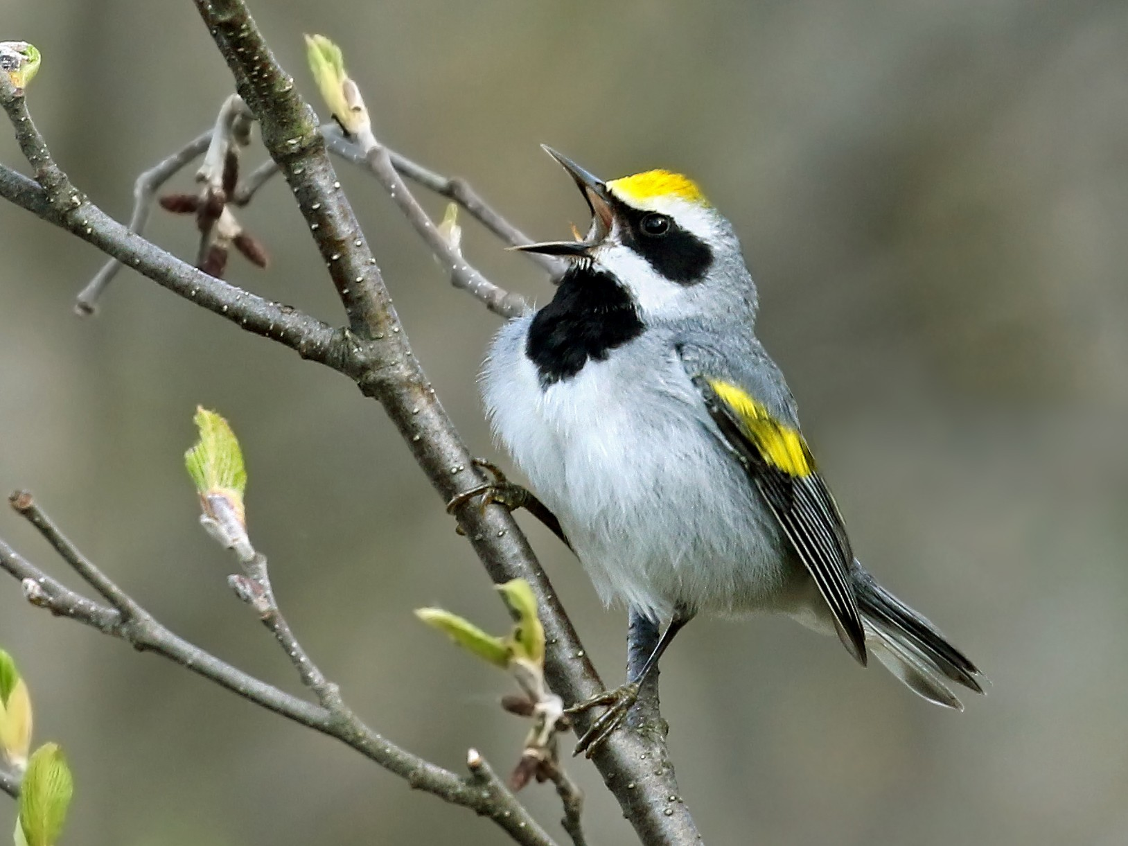Golden-winged Warbler - Andrew Spencer