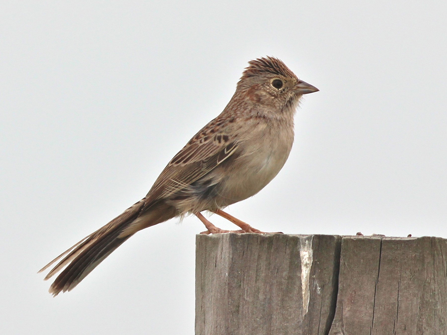 Cassin's Sparrow - Shawn Billerman