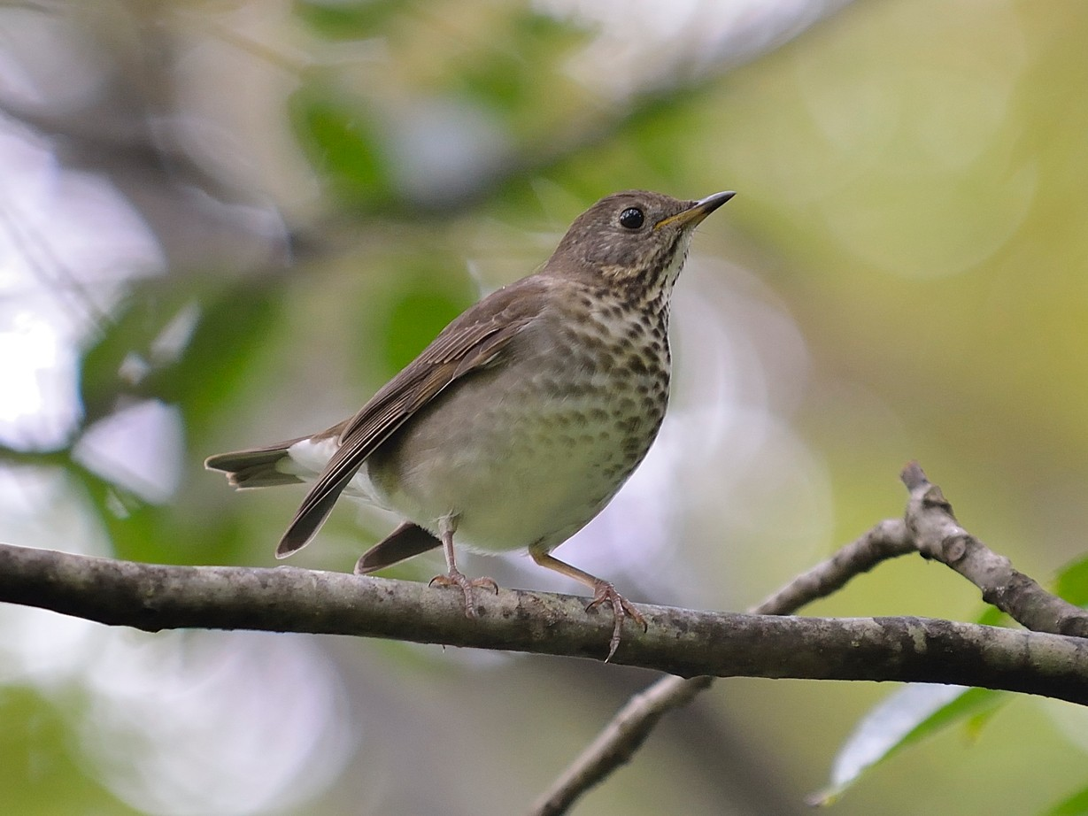 Gray-cheeked Thrush - Donald Casavecchia
