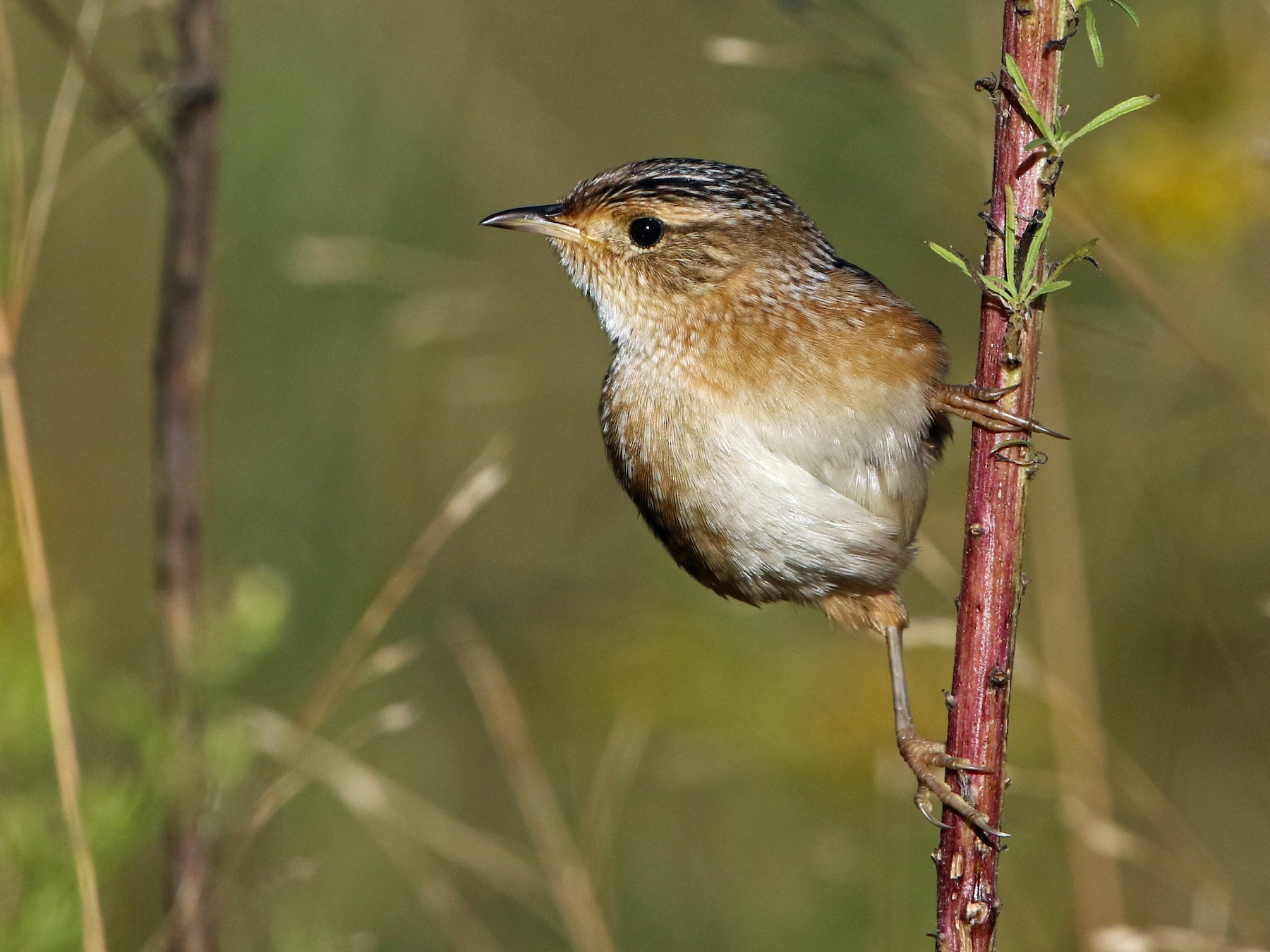 Sedge Wren - Jim Guyton