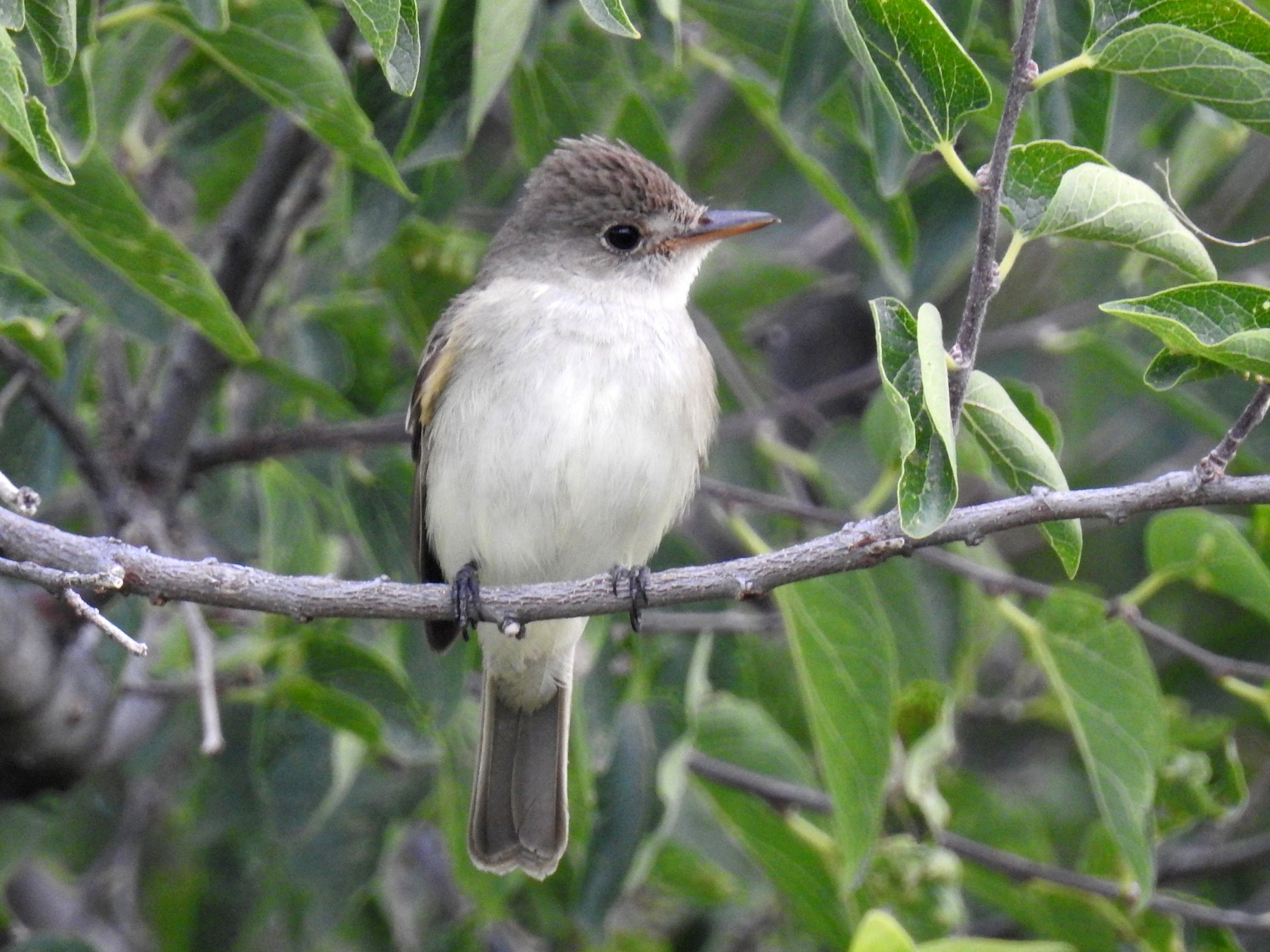 Willow Flycatcher - Bob Nieman