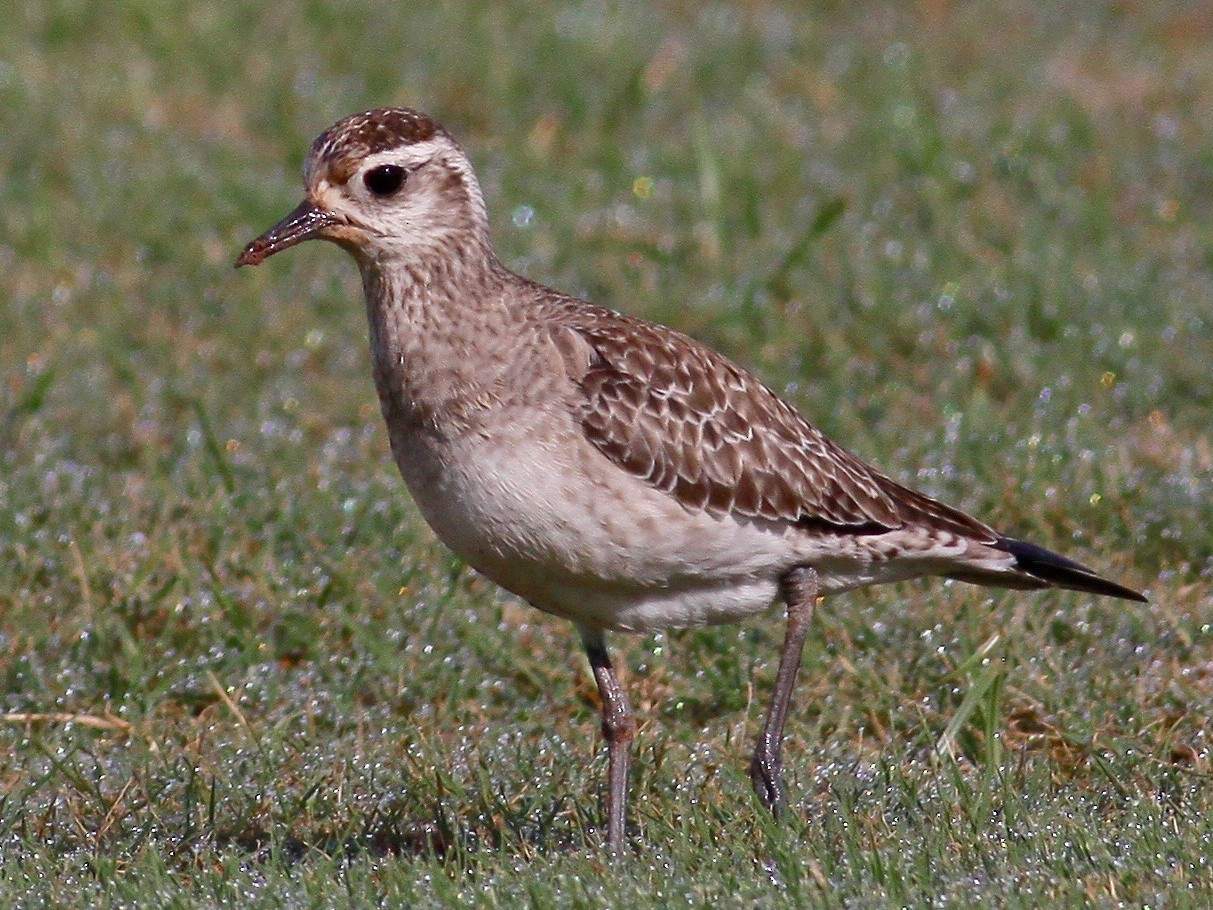 American Golden-Plover - Ronald Newhouse