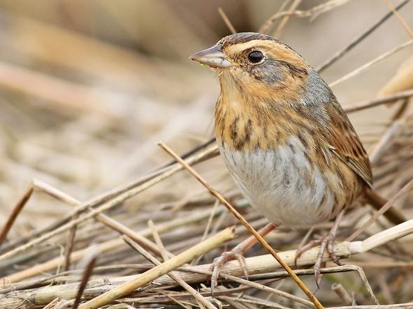 Nelson's Sparrow - Jeremiah Trimble