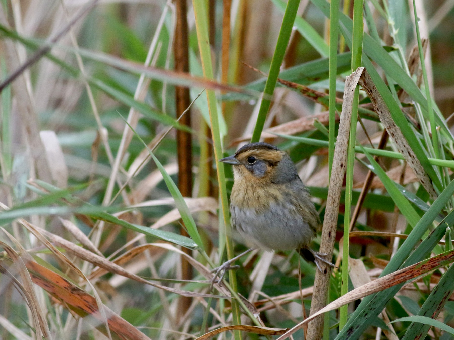 Nelson's Sparrow - Jay McGowan