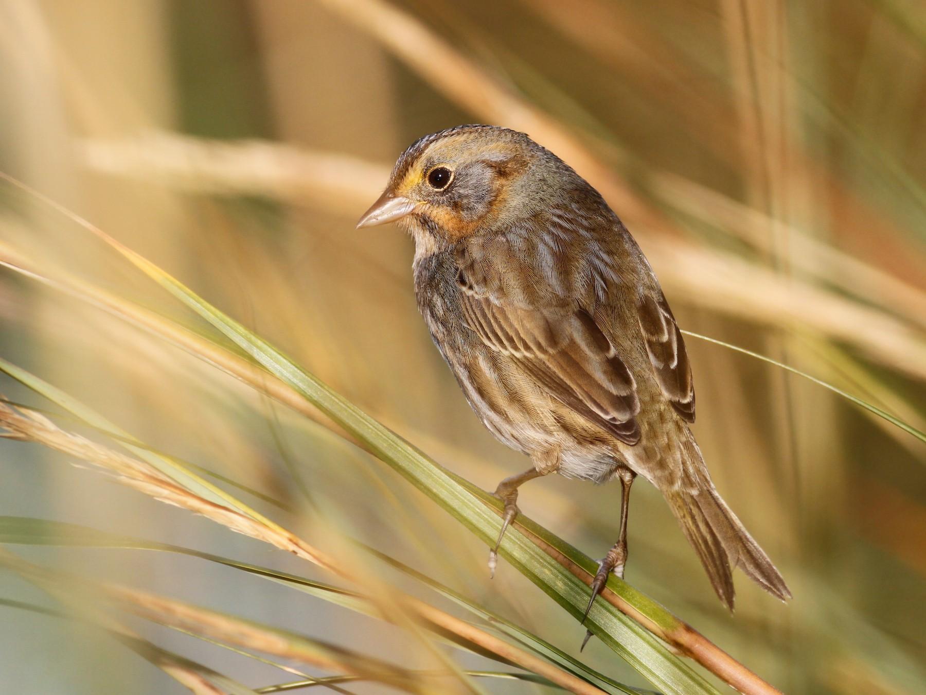 Nelson's Sparrow - Davey Walters