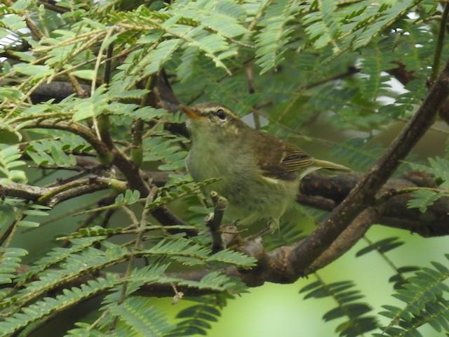 ©T R Shankar Raman - Greenish Warbler