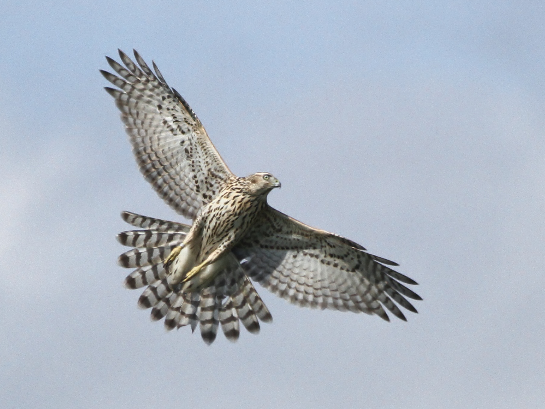 Northern Goshawk - Alex Lamoreaux