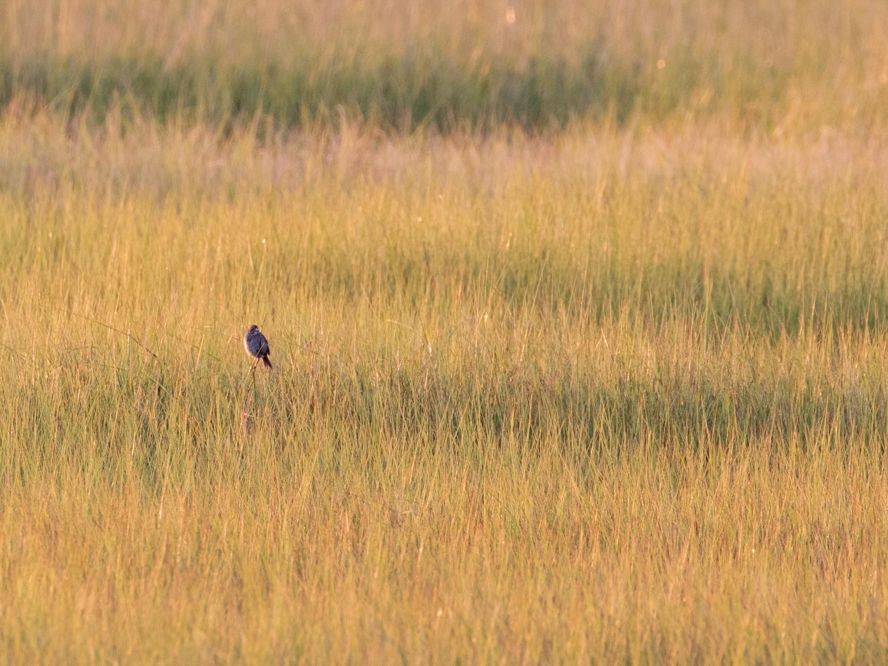 Seaside Sparrow - Mark R Johnson