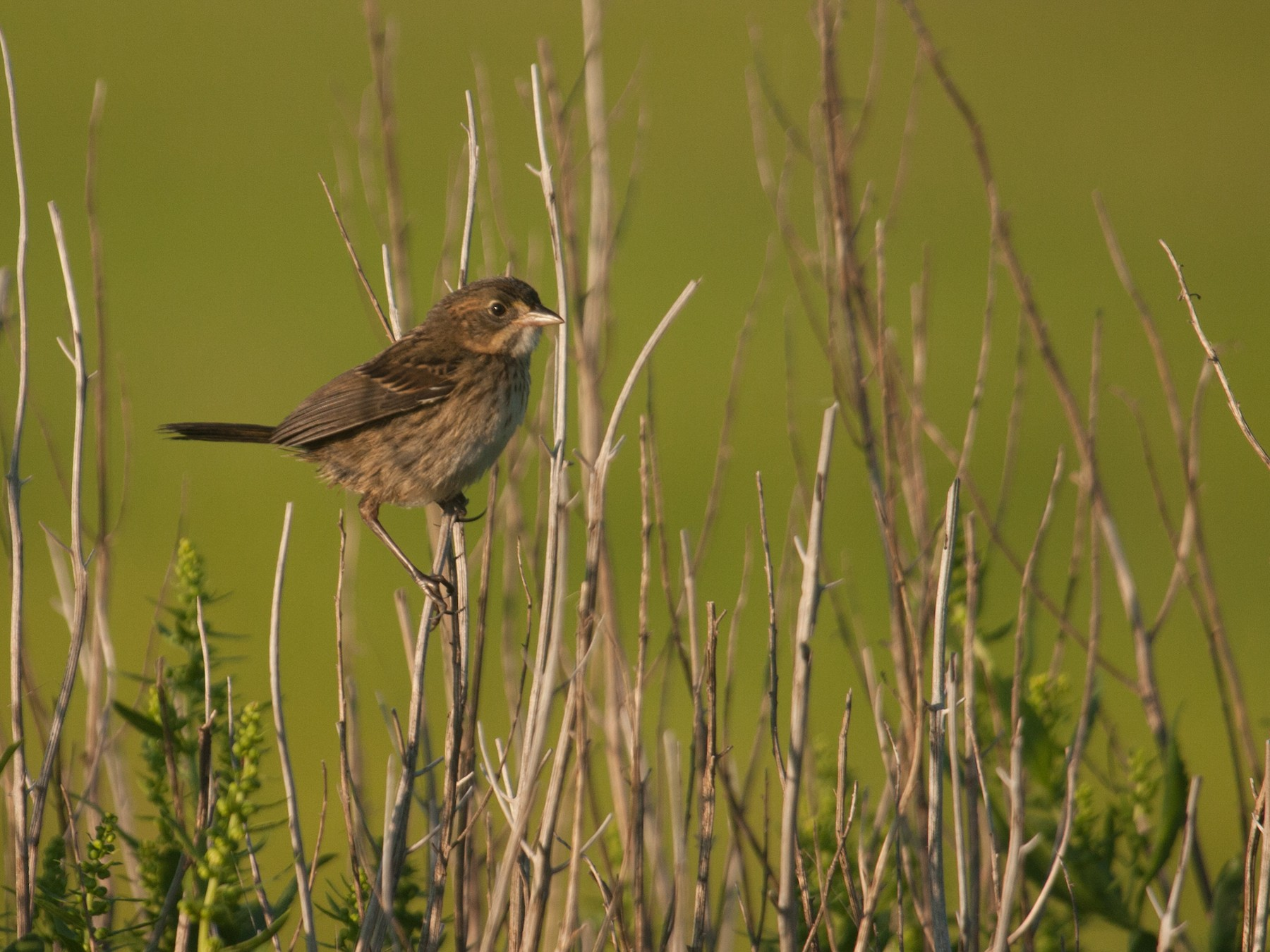 Seaside Sparrow - Marshall Iliff