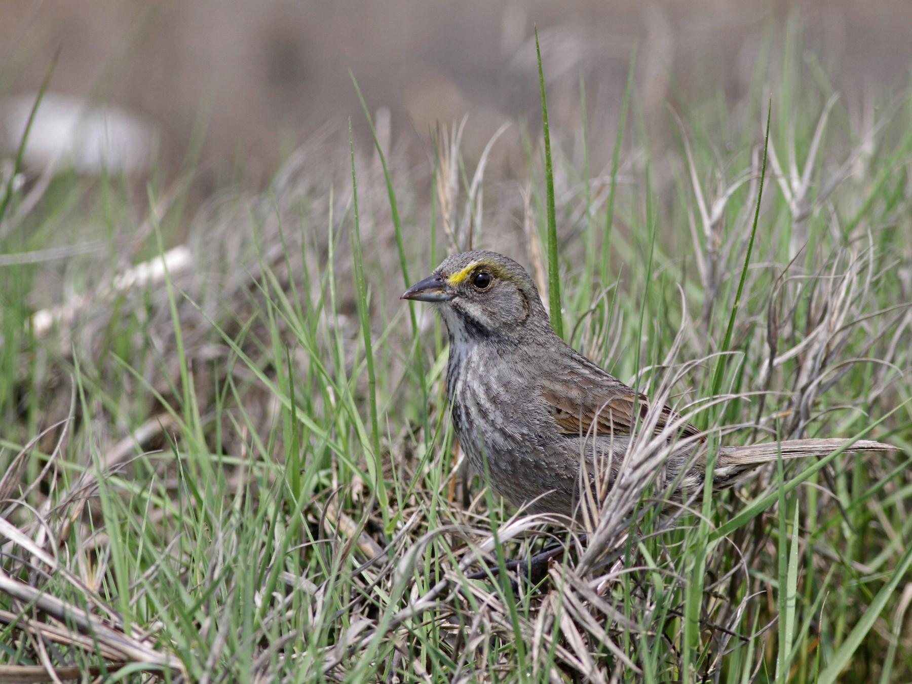 Seaside Sparrow - Ian Davies