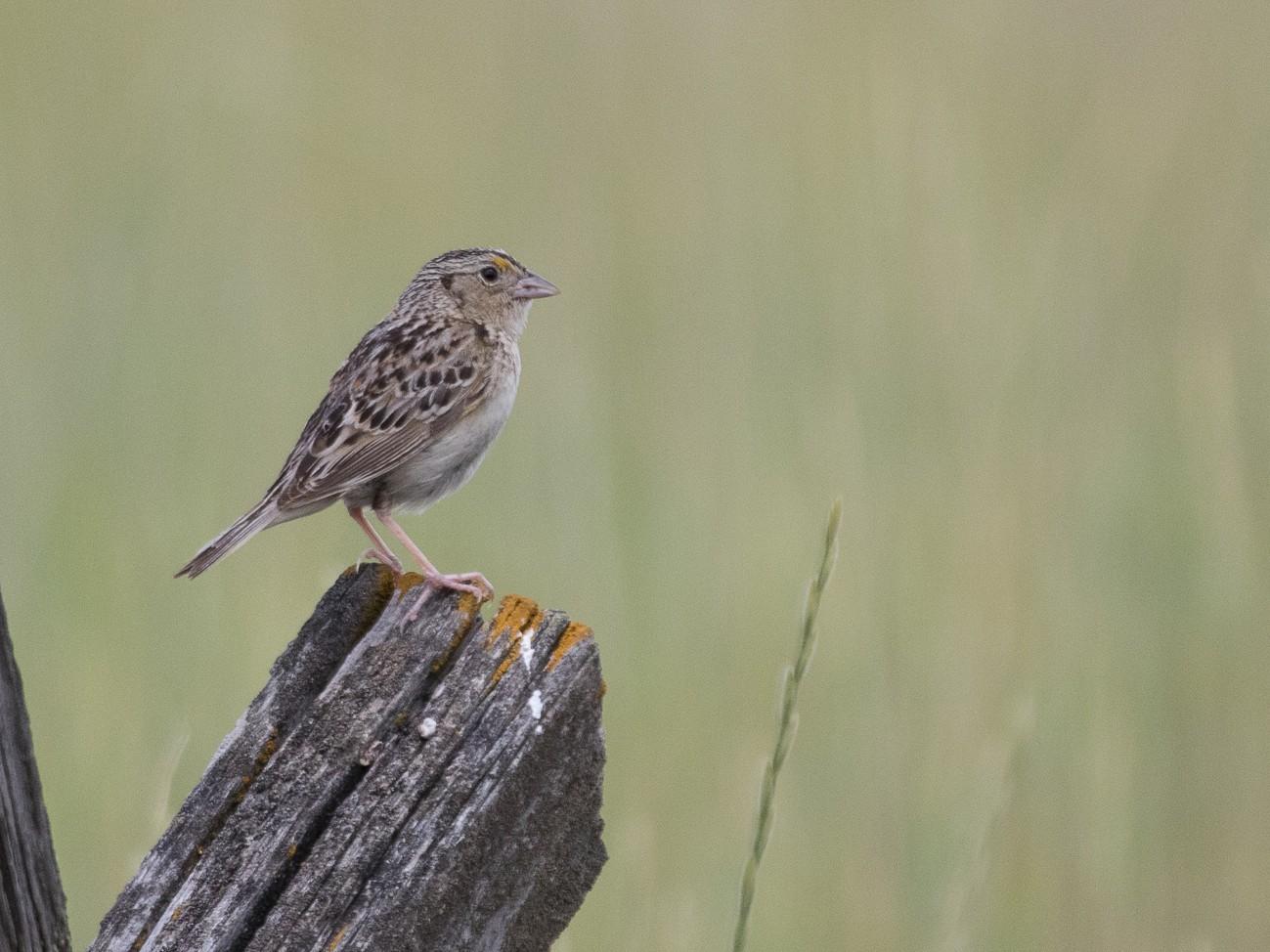 Grasshopper Sparrow - Ken Chamberlain
