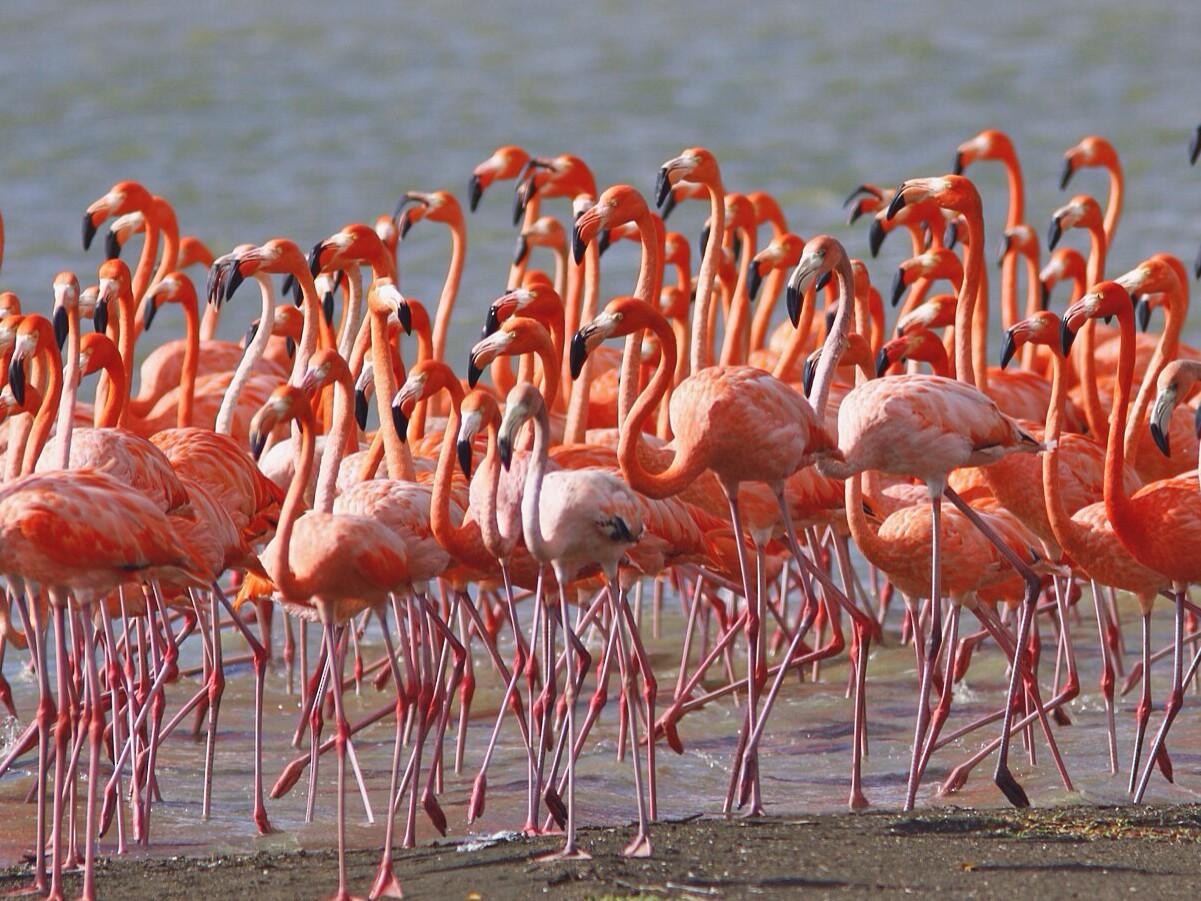 American Flamingo - Jeff Kolodzinski