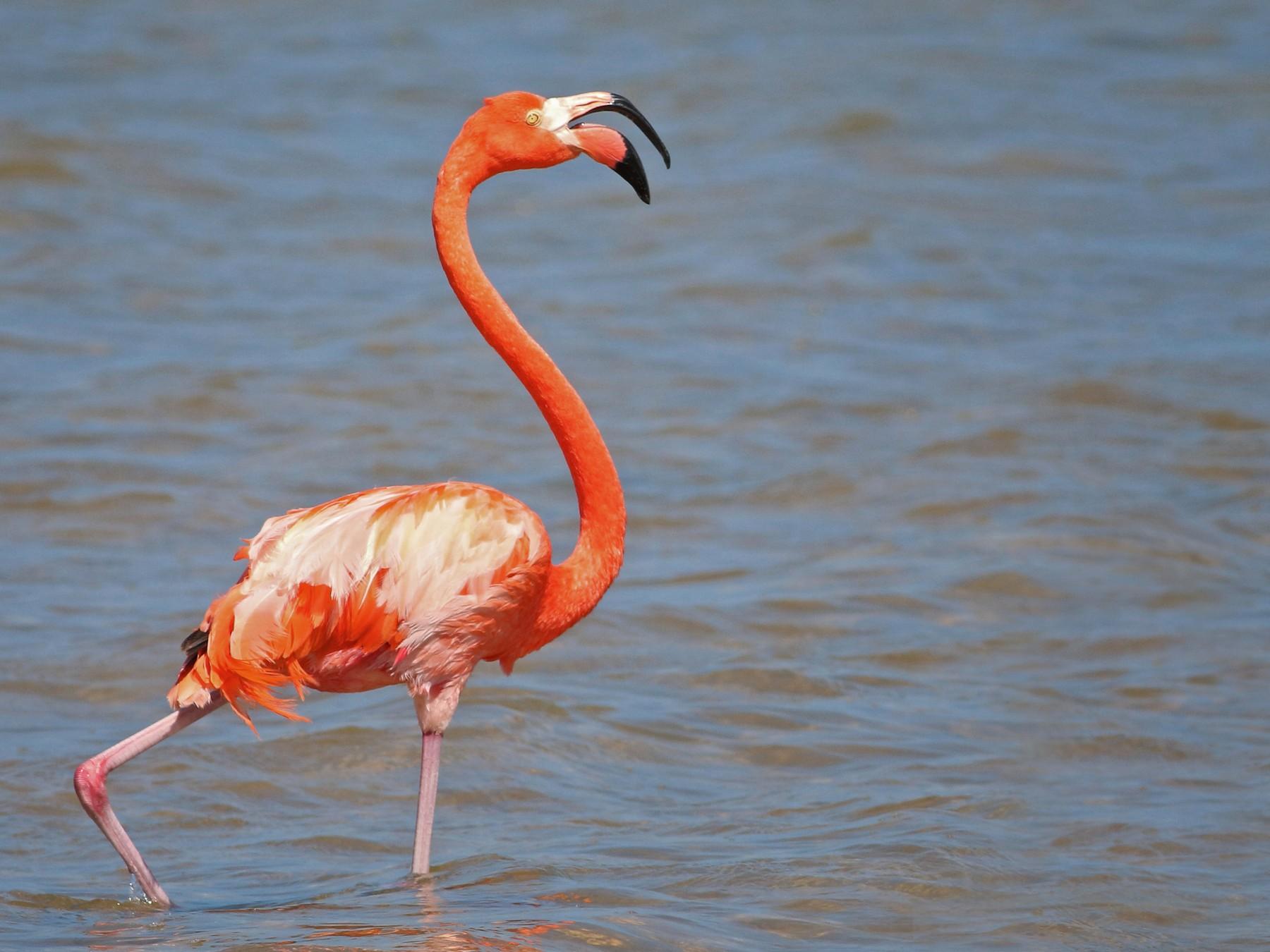 American Flamingo - Ian Davies