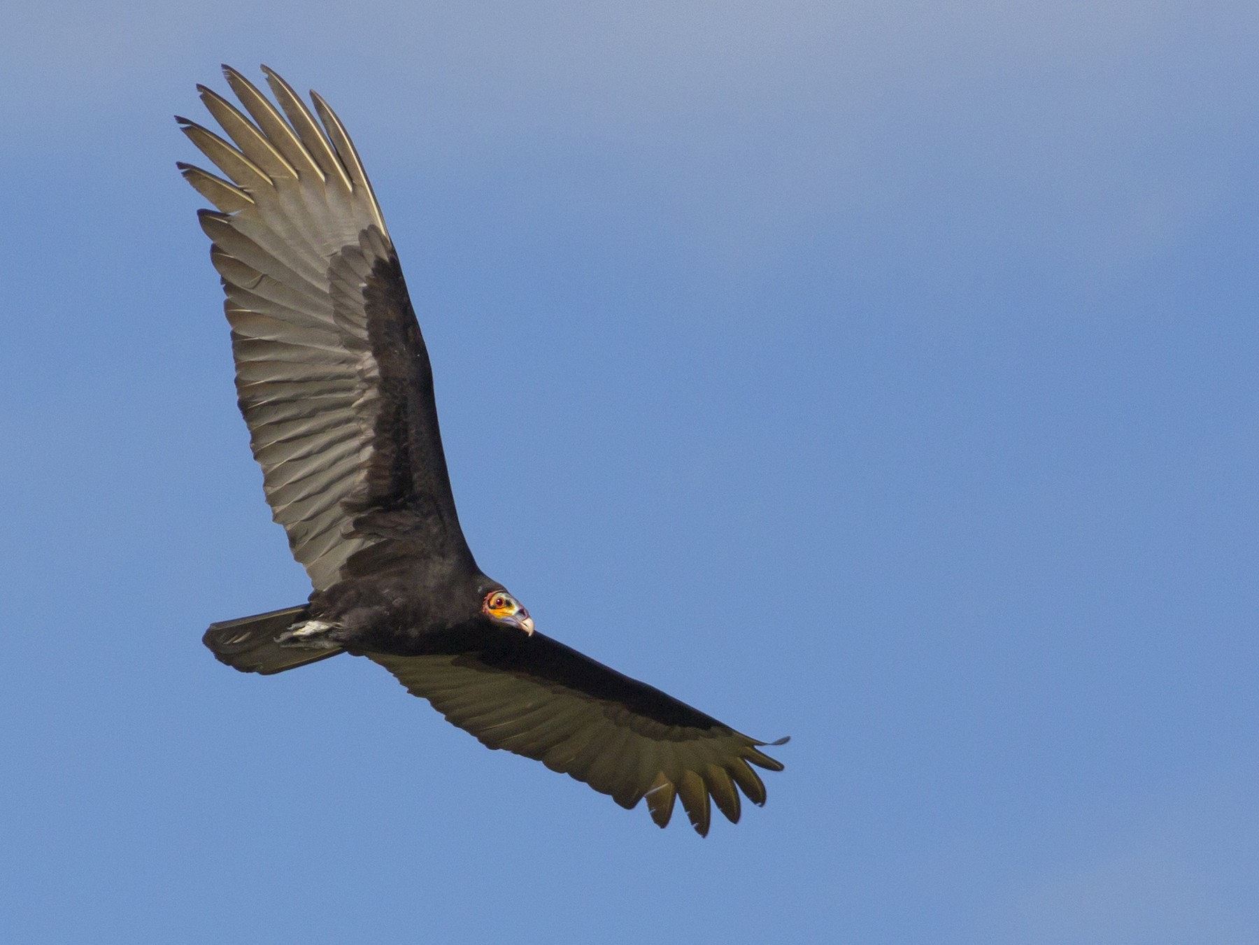 Lesser Yellow-headed Vulture - Yarky Moguel