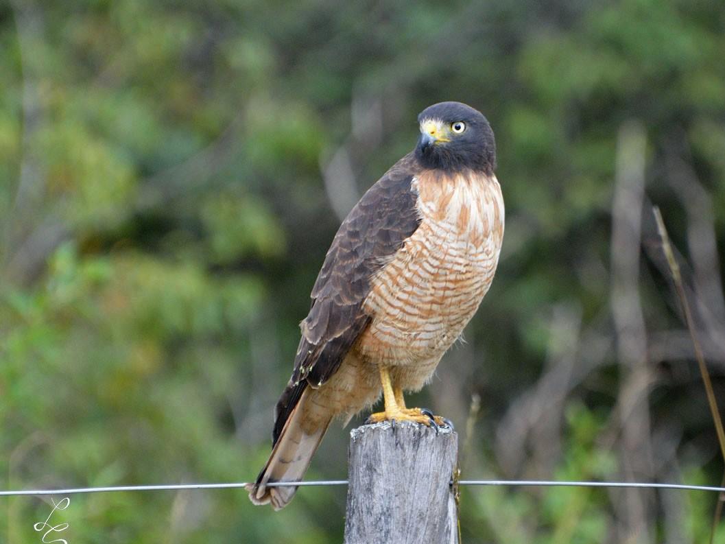 Roadside Hawk - Luis Fernandez