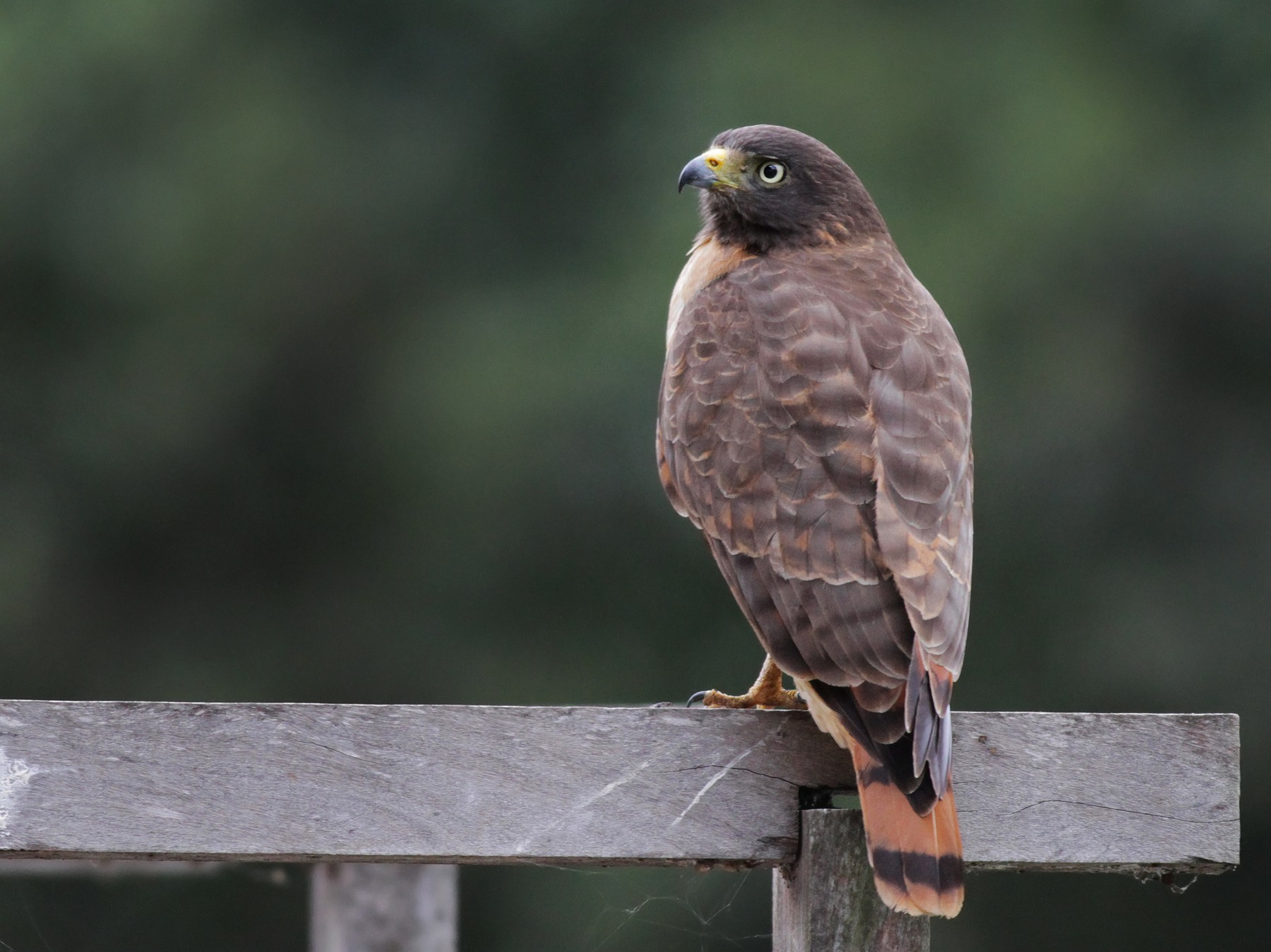 Roadside Hawk - Ian Davies